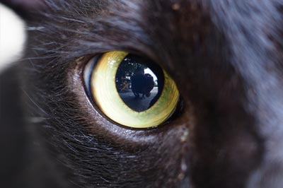Big eye of the black cat in studio