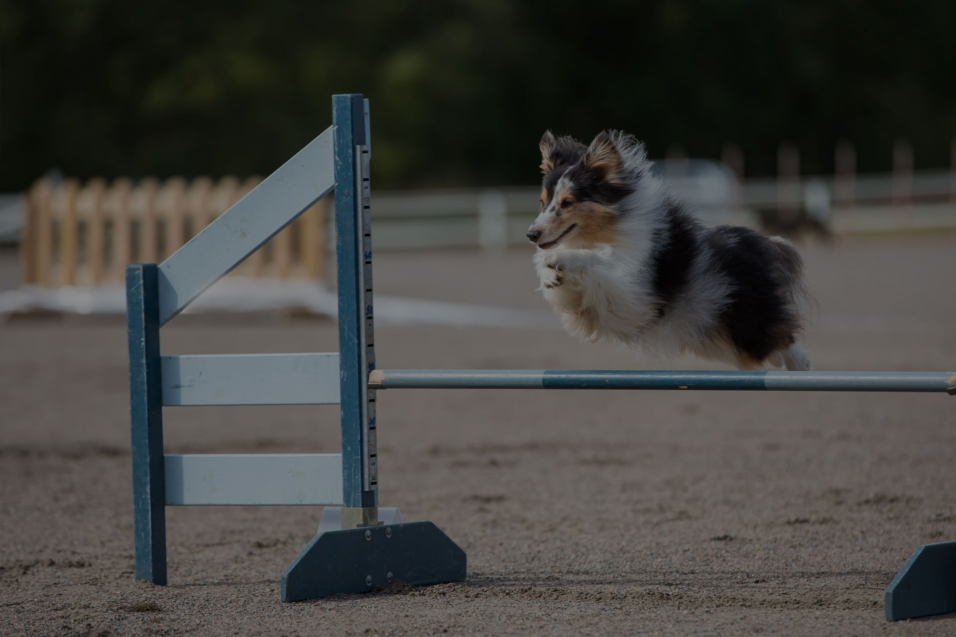 Dog jumping on hurdle